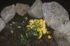 Žuto cvijeće u centru